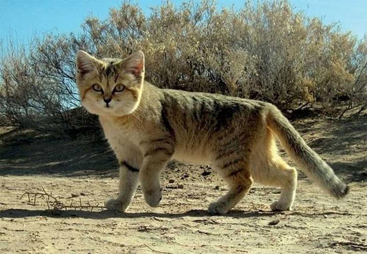 Mèo cát thường sống riêng lẻ.