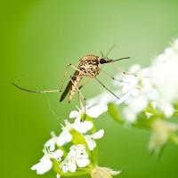 10 điều thú vị về loài muỗi