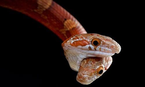Con rắn ngô có hai đầu.
