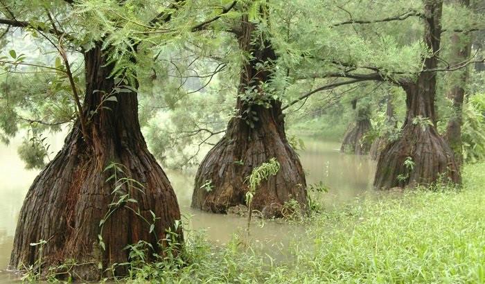 Hiện nay, số lượng cây thông nước (thủy tùng) còn lại chỉ khoảng 100 cây.