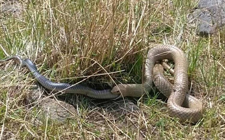 Con rắn nâu mải mê ăn thịt rắn đen.