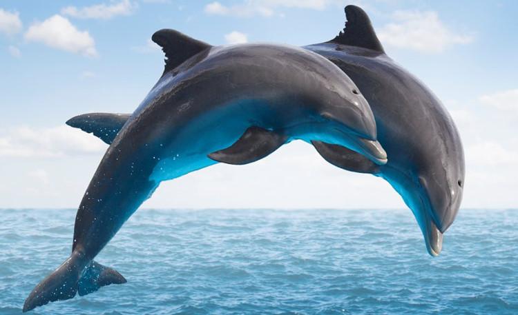 Một số loài cá heo còn có khả năng tạo ra ký hiệu cá nhân, để phân biệt từng cá thể trong cộng đồng.