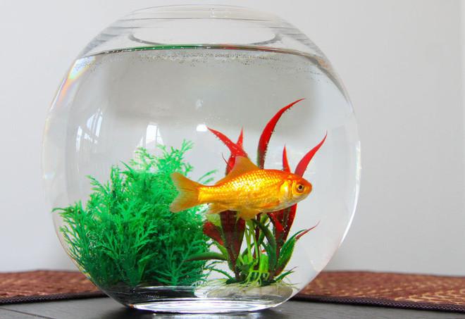Cá là để nuôi trong bể tròn
