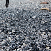 Xác sứa chết hàng loạt phủ kín bờ biển New Zealand