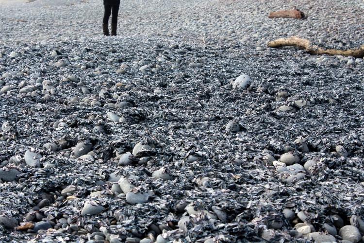 Sứa chết phủ kín đặc khắp một vùng rộng lớn trên bãi biển.