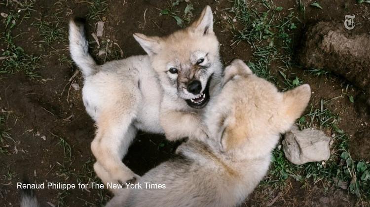 Những con chó sói đang chơi đùa với nhau