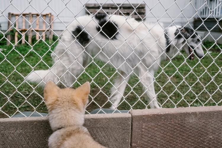 Mối tương quan và khác biệt giữa chó sói và chó nhà vẫn đang được các nhà khoa học thực hiện