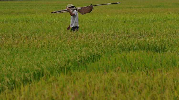 Năng suất lúa nước mặn vượt mức 4,5 tấn/ha.