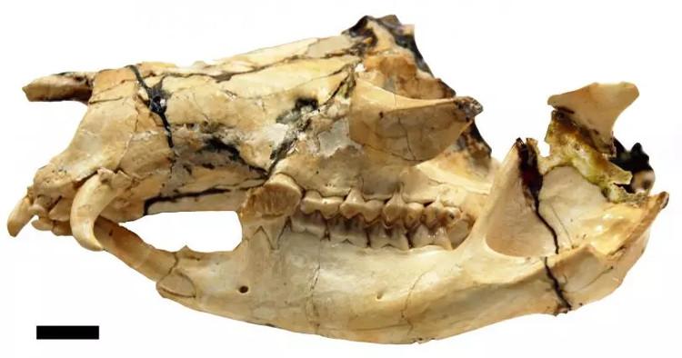 Hóa thạch đầu của một con balbarid được phát hiện tại Queensland, Australia.