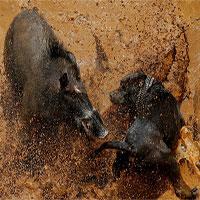 Chó và lợn rừng tử chiến trong cuộc đấu đẫm máu ở Indonesia