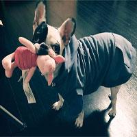 Những điều bạn chưa biết về giống chó Bull Pháp