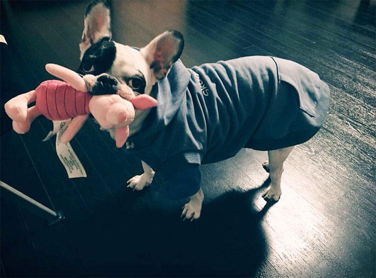 Chó Bull Pháp có tính cách khá... hài hước - thường xuyên coi mình là chủ căn nhà.