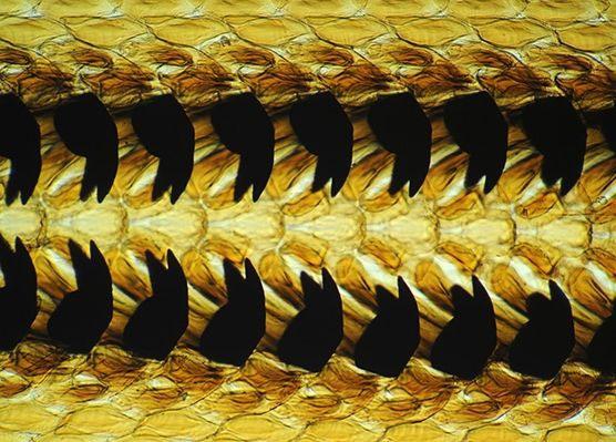 Hình ảnh răng vi của ốc sên.