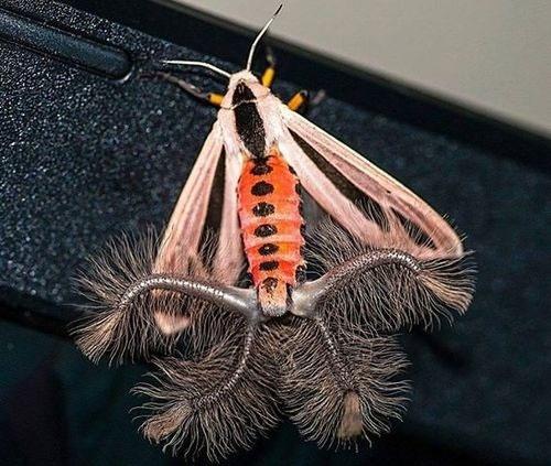 Creatonotos gangis - một loài bướm thuộc họ bướm đêm (ngài).