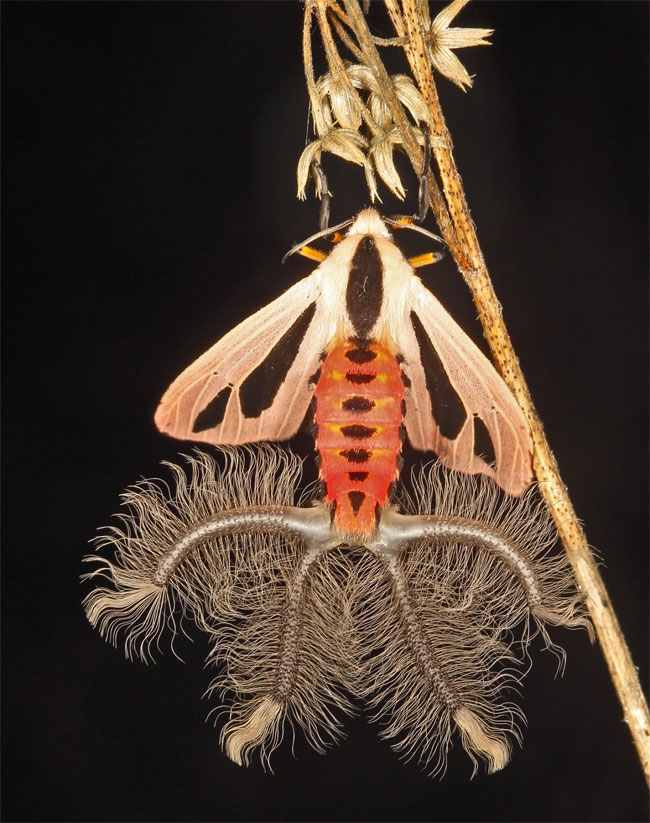 Coremata là những cơ quan phát mùi