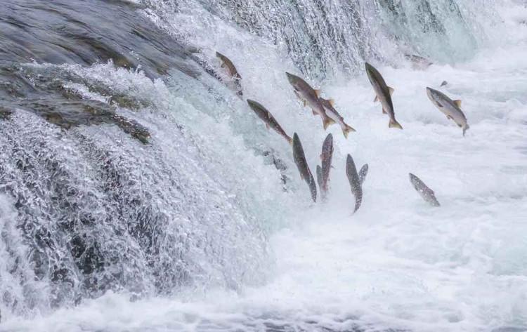 Cá hồi ngược dòng để tìm chỗ ân ái.