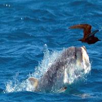 Cá vẩu 7 tạ phi thân trên mặt nước đớp gọn chim nhạn