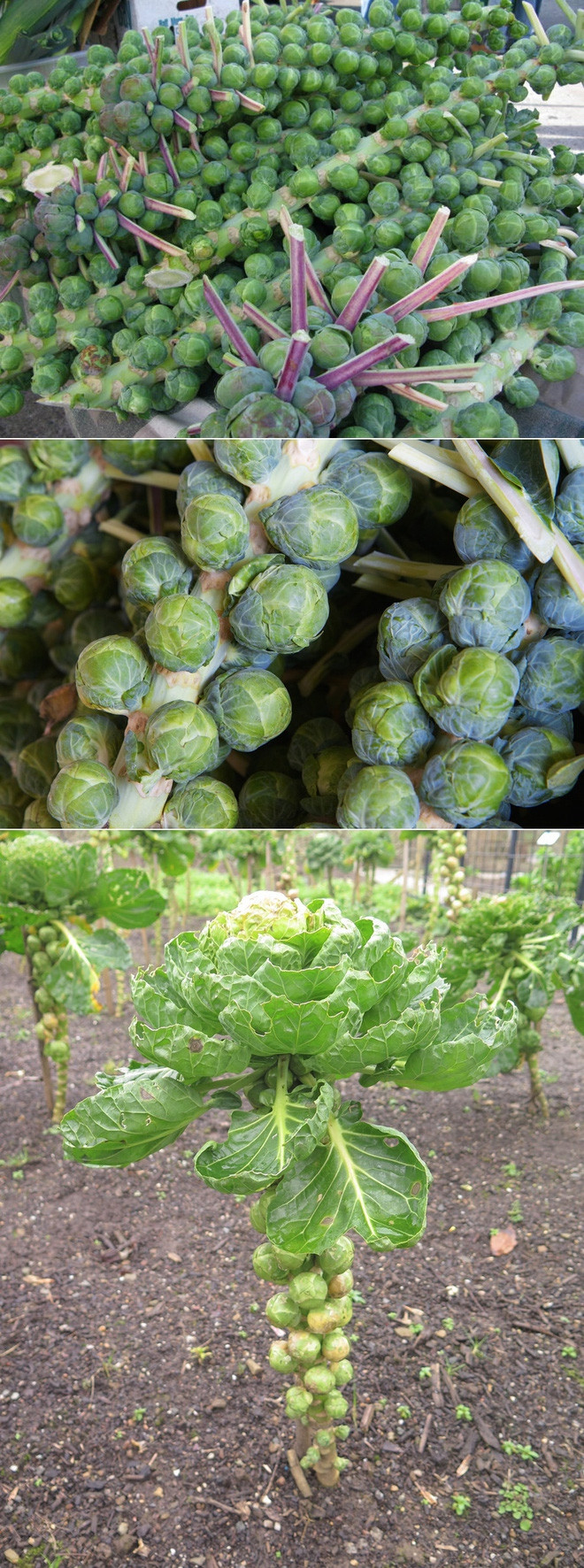 Thân cây bắp cải bruxen có hình dáng kỳ lạ như thế này.