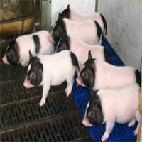 Trung Quốc cấy gene chuột vào lợn khiến thịt của chúng nạc hơn