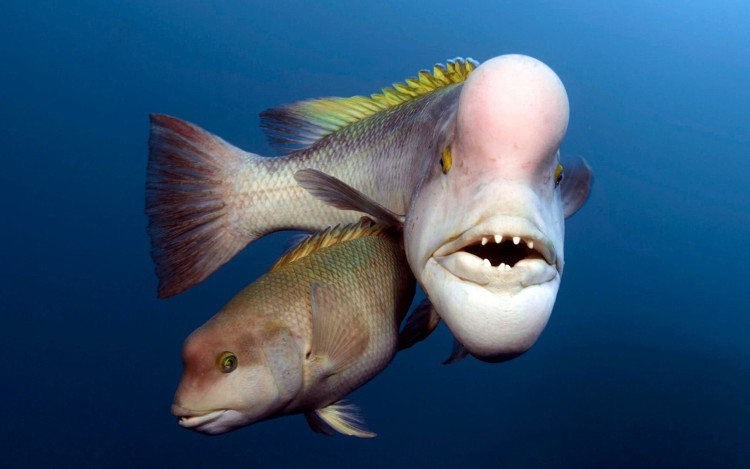 Cá bàng chài đầu cừu châu Á cái có thể chuyển giới thành con đực.