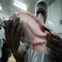 FAO cảnh báo về virus Tilapia Lake