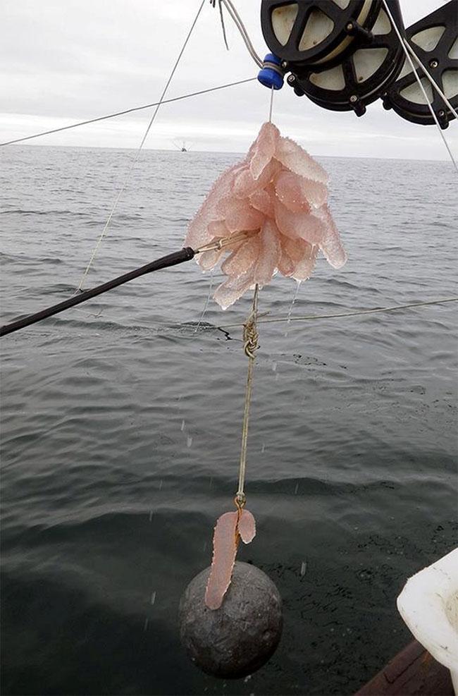 """Sự xuất hiện với mật độ dày đặc của """"dưa chuột biển"""" đã gây tác động rất xấu tới nghề cá của cư dân."""