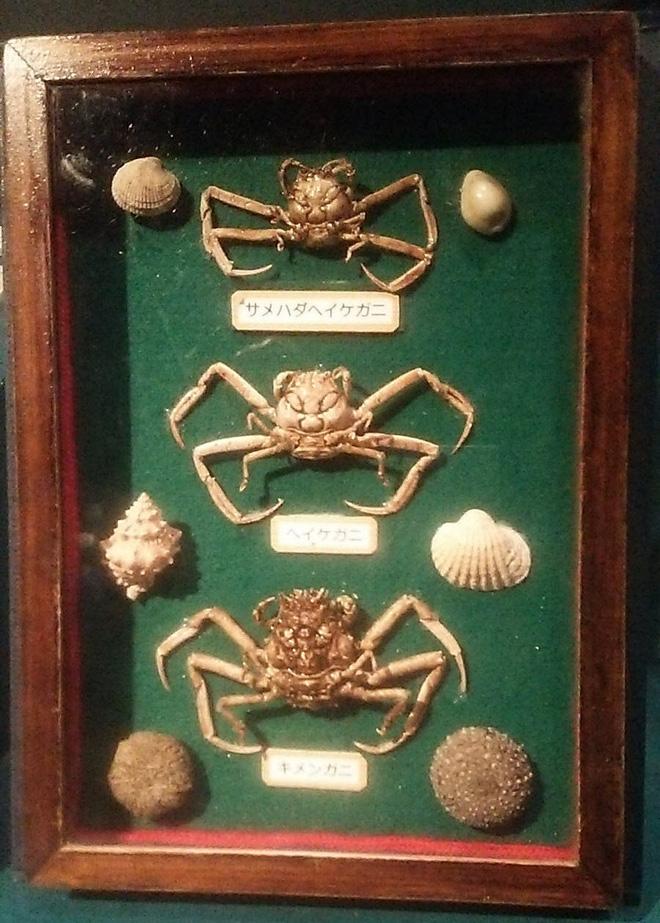 Một số con cua hình mặt người còn được trưng bày trong viện bảo tàng