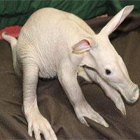 Lợn có móng vuốt sắc nhọn và bơi rất giỏi gây sốc