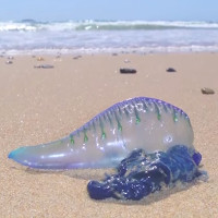 Thảm sứa độc hàng nghìn con trên bãi biển Australia