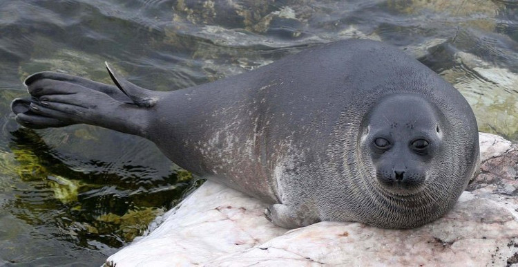 Nhiều con hải cẩu ở hồ Baikal chết đột ngột trong thời gian ngắn.