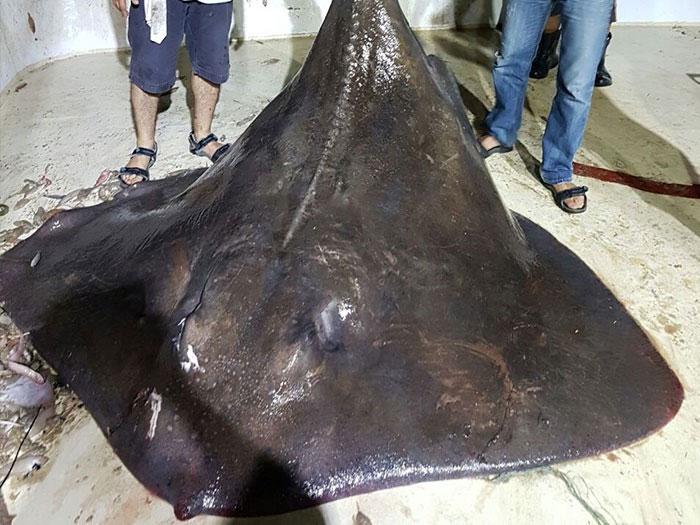 Con cá đuối nặng 450kg được bắt gần Izmir, Thổ Nhĩ Kỳ, hồi tháng 9 năm ngoái sinh non vì sợ người.