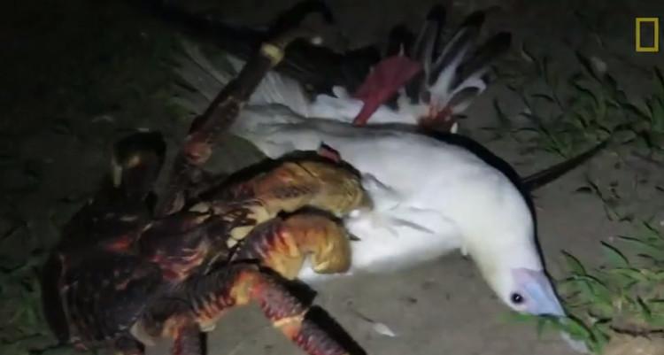 Con cua dừa quắp một con chim điên chân đỏ.