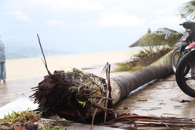 Một gốc dừa bị bão số 12 quật gãy đổ ngay trên bãi biển Nha Trang