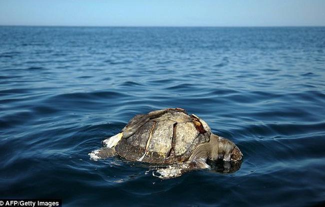 Gần 400 con rùa biển nổi lềnh phềnh trên Thái Bình Dương