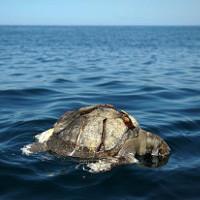 Bí ẩn hàng trăm con rùa biển chết nổi lềnh phềnh trên Thái Bình Dương