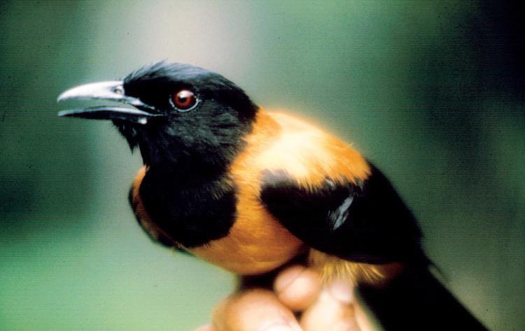 Chim có độc Pitohui.