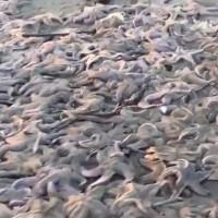 Video: Hàng nghìn sao biển chết hàng loạt trên hòn đảo Nga