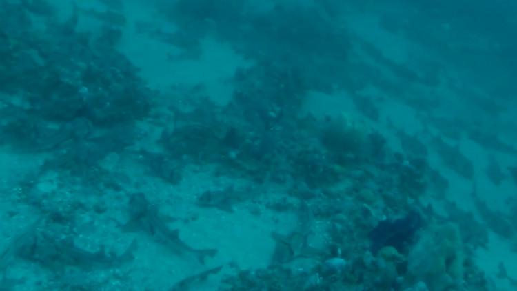 Cá mập Port Jackson tụ tập dưới đáy biển.