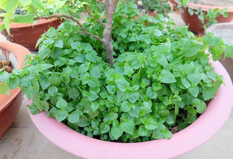 Rau càng cua được trồng xen trong chậu cảnh.