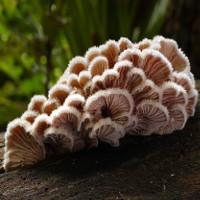 Loài nấm có hơn 23.000 giới tính để sinh sản
