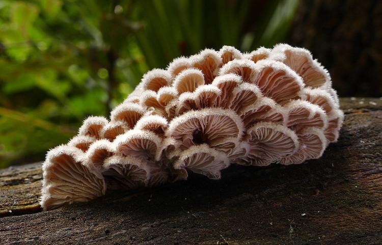 Nấm chân chim (Schizophyllum commune) mọc trên gỗ.
