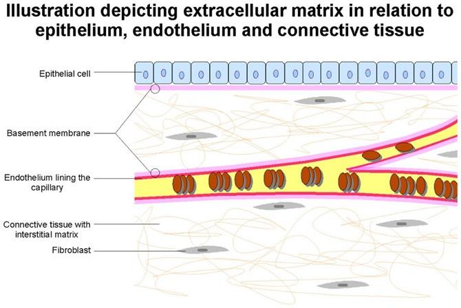 Tất cả các tế bào, bao gồm cả vi khuẩn, về cơ bản sống trong cấu trúc nền ECM.
