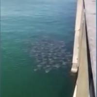Video: Cá đuối ó kéo thành đàn lớn đi kiếm ăn