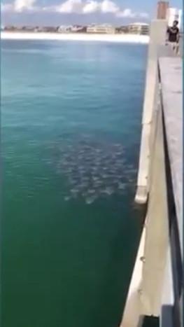 Bầy cá đuối ó đông nghịt kéo nhau đi kiếm ăn.