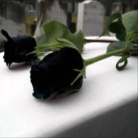 Loài hoa hồng đen cực quý hiếm, chỉ trồng được ở duy nhất 1 ngôi làng