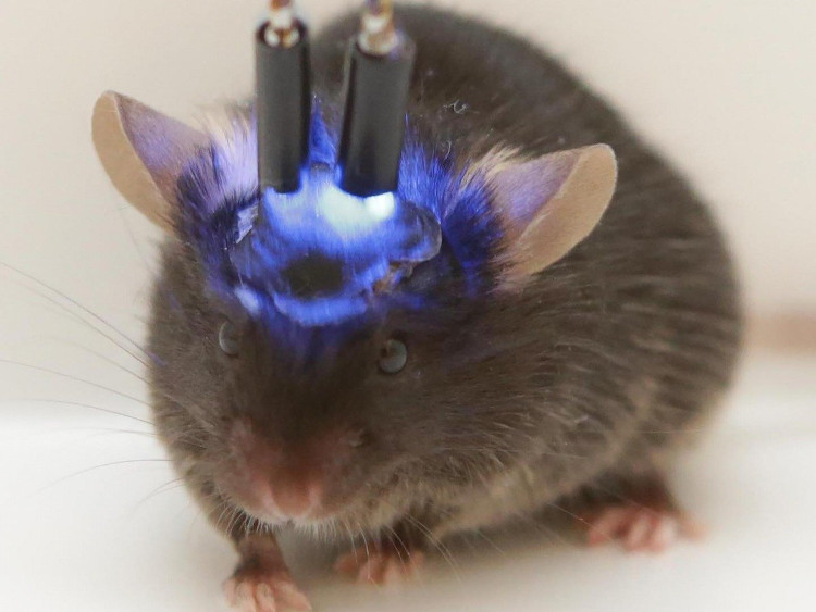 Thí nghiệm cấy não người mini vào chuột gây lo ngại về loài lai mới thông minh hơn.