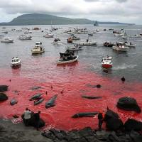 Cả một vùng nước biển bị nhuộm đỏ bởi máu cá heo và cá voi bị giết hại
