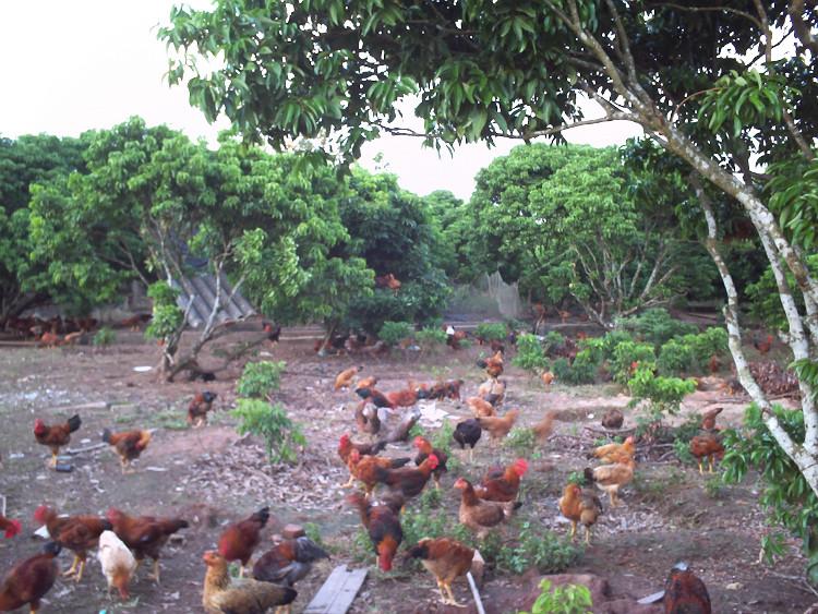 Chuồng và vườn thả phải luôn khô ráo, sạch sẽ, không để ao tù nước đọng trong khu vườn thả.