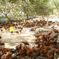 Kỹ thuật nuôi gà ta thả vườn đạt hiệu quả cao