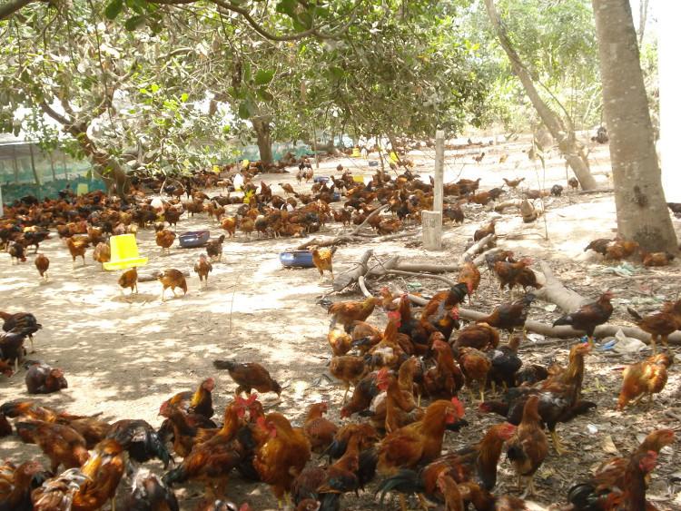 Chăn nuôi gà ta thả vườn không khó.